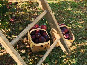 Ladder with fruit
